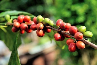 bean-1512433_1920